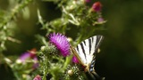 Butterfly Landing On Purple Wild Flower stock footage