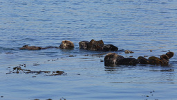 Otters In The Sea stock footage