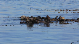 Family Of Sea Otters stock footage