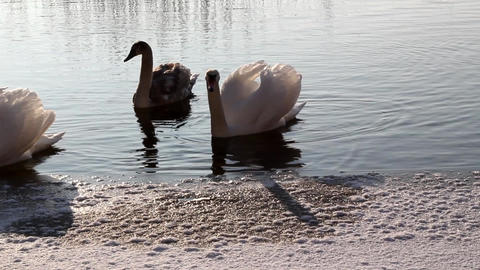Swimming Swans Footage