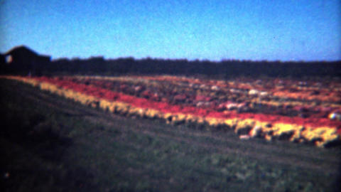 1949: Mums Agriculture Flower Growing Farm Colorful By Paschle Company stock footage
