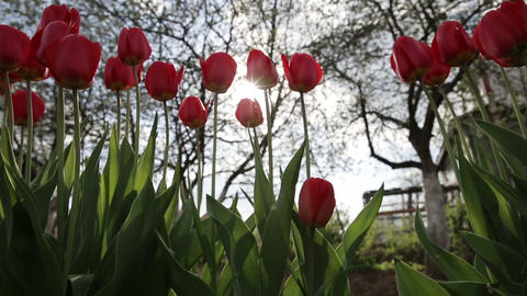 Red tulip in the garden Footage