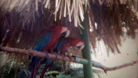 1967: Tropical parrot birds perched being friends and enemies Footage