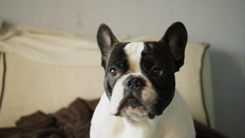 French Bulldog Looking Closely At The Camera stock footage