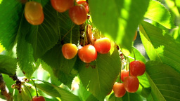 Cherry tree branches with rape fruits in summer garden Footage