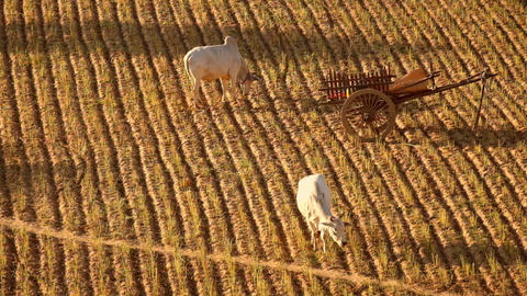 Rural Landscape With Farm Animals At Rice Field.at Bagan. Myanmar (Burma) stock footage