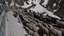 Passing a flock of sheep on the road,Kashmir,India Footage