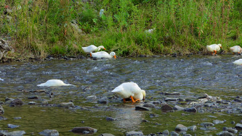 Ducks Eat From The River stock footage