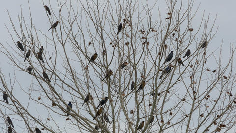 Flock of blackbirds perched in leafless tree, 4K Footage