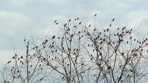 Munia Birds In Tree stock footage