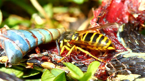 Eastern Yellowjacket Eating Snake stock footage