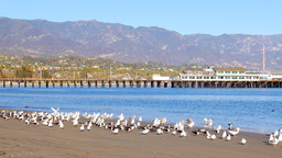 Seabirds line the shore at Stearns Wharf in Santa Barbara Footage