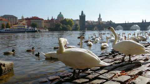 White Swans In Prague stock footage