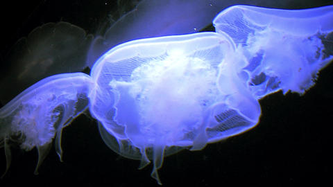 White Jelly Fish Floating Under Black Light stock footage