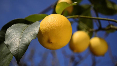 Lemon Branch With Many Ripe Fruits On It stock footage
