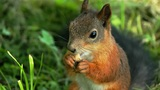 Squirrel Lunching stock footage
