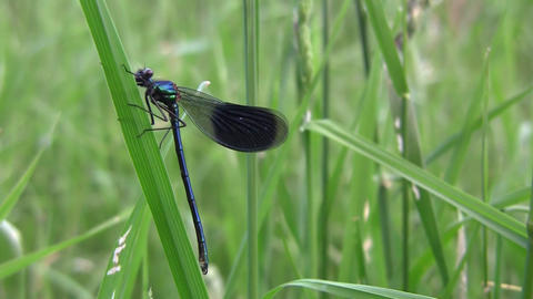 Dragonfly, Insect Predators Characterized By An Elongated Body, Agile Flight And stock footage