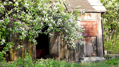 Flowering birdncherry tree, old barn Footage