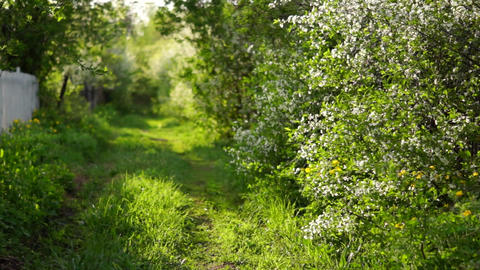 Path in the grass, flowering Bush Footage