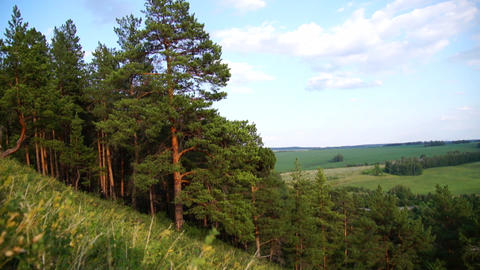 Pine trees on the slope of a hill Footage