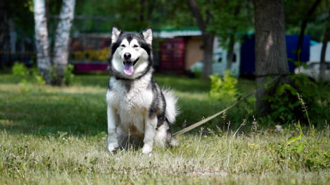 A Beautiful Dog Sitting On The Grass, Husky stock footage