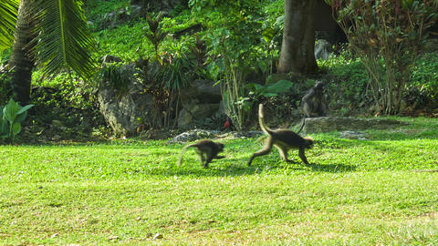Monkeys Play On The Sunny Lawn stock footage