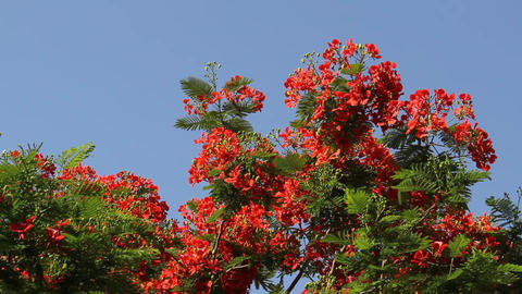 Flame Tree Branch With Many Bright Flowers, Sway On Breeze Against Blue Sky stock footage