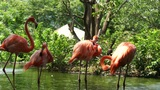 Flamingos stock footage