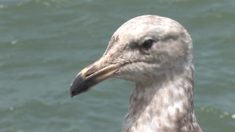 Seagull Sitting By The Bay At Pier 39 San Francisco stock footage