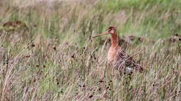 Bar Tailed Godwit stock footage