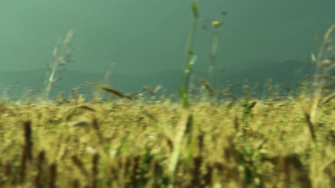 Close-up Of A Field Of Wheat In The Wind And Bright Sun, With Blue Sky And Puffy stock footage