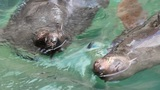 Seals pair swims in water Footage