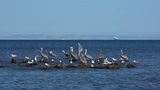 Pelicans and Seagulls Sharing a Rock Outcrop on the Ocean Footage
