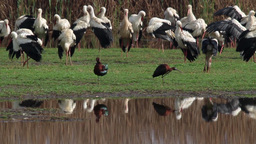 Glossy Ibis And White Storks stock footage