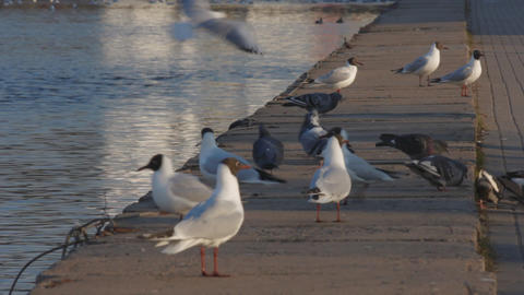 1080p Ungraded: Gulls And Pigeons On Concrete Embankment Of River stock footage