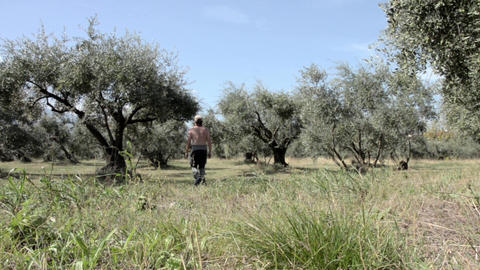 Farmer Who Check The Quality Of Olives From The Olive Plantation From The Field  stock footage