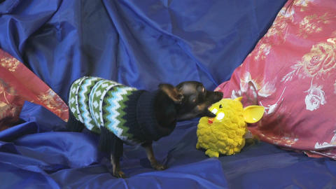 Dog toy-terrier barks and plays with a yellow toy Footage