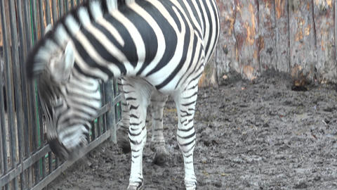 Close Up Of The Zebra.. 4K UltraHD, UHD stock footage
