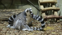 Ring-tailed Lemur Or Lemur Catta stock footage