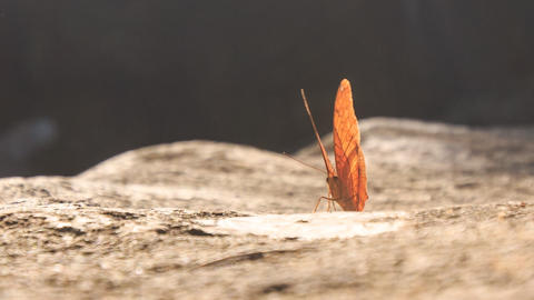 Orange Butterfly Comes Flying Sits on Stone Flaps Wings Footage