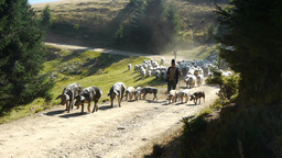 Herd of pigs and herd of sheep walking on a mountain road besides a pine forest  Footage