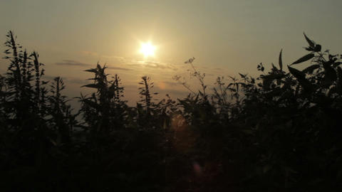 Beautiful Sunset Through The Nettles At Windy Hill stock footage