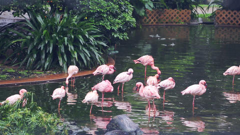 Some Rose Flamingoes In A Central Park Of Hong Kong stock footage