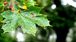 Autumn Tree (forest) - Detail Autumn Leaves - Water Drops On Leaf - Detail stock footage