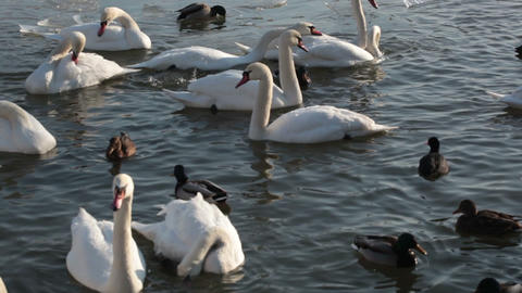 White Swans And Ducks Floating In Pond stock footage