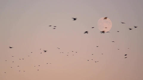Flock of crows flying in the sky surrounded the enormous moon 1 Footage