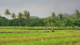 Agriculture Workers On Rice Field stock footage