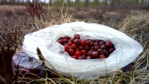 Cranberries Are Collected In The Swamp stock footage