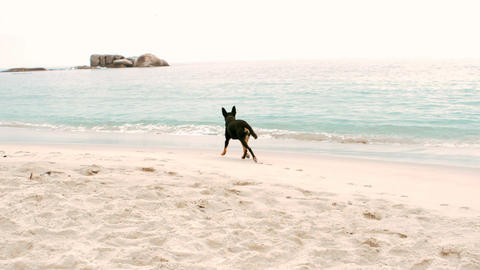 Alone Black Dog Is Running stock footage
