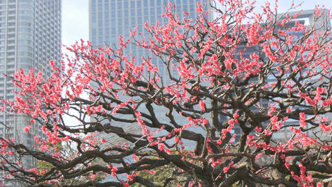 Birds jumping through blooming pink plum tree in the heart of Tokyo Footage